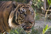 Melissa's run for Sumatran Tigers